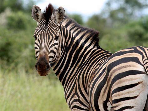 zebra skin color question overstock president asks