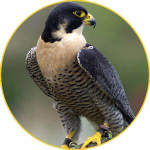 Peregrine Falcon sounds - Android Apps on Google Play