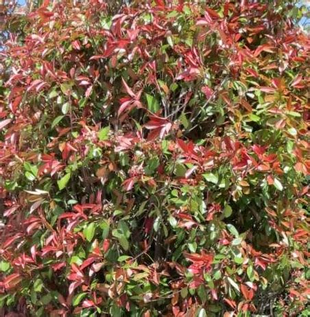 photinia fraseri robin oder glanzmispel bei green4living