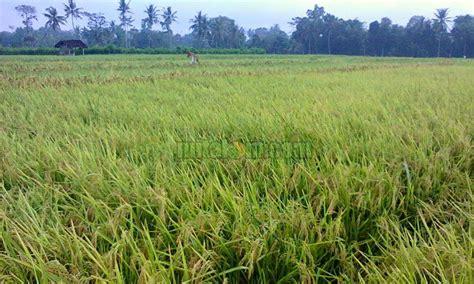 gambar tanaman padi mitalom