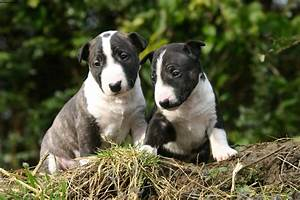 Miniature Bull Terrier - Pictures, Information ...