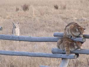 Free Picture  Juvenille  Mountain  Lions  Fence  Coyote