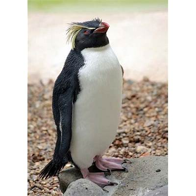 Rockhopper Penguin - Animal Facts and Information