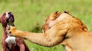 LION VS. PIT BULL!!! NEW!!! - YouTube
