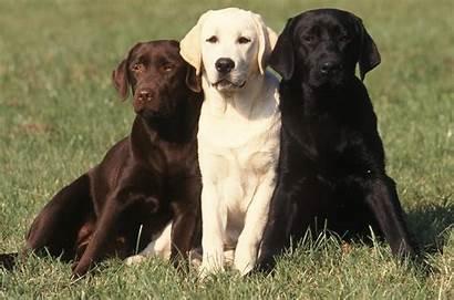 Labrador Wallpapers Tab Theme Dogs Retriever Mystart