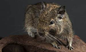 Daily Plan Degu Smithsonian 39 S National Zoo