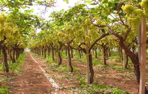 prezzo uva da tavola sperimentazione uva concimi e fertilizzanti per l