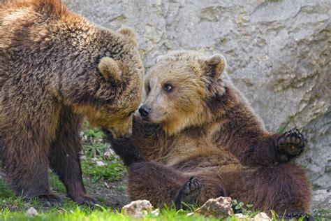 Kamčatkas brūnos lāčus apdraud lašu maluzvejnieki / Raksts