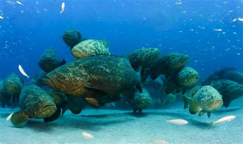 goliath grouper aggregation groupers florida spawning stearns walt cull extinction fished forming credit east being re today