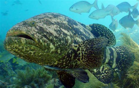 grouper goliath atlantic ocean marine habitat distribution oceana coral reefs fishes ecosystem