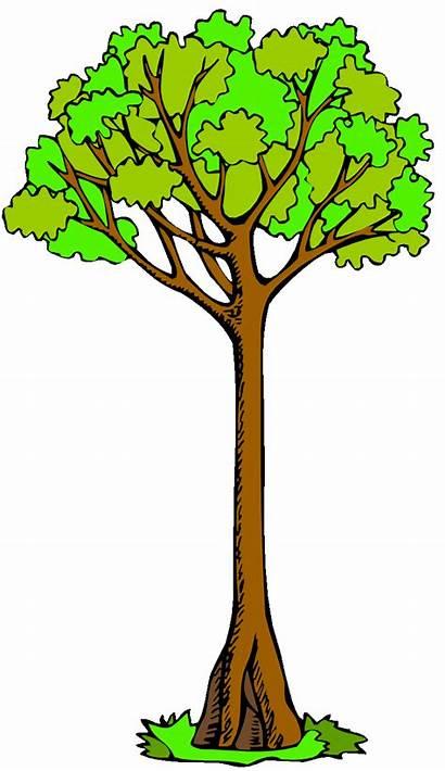 Tree Clip Clipart Trees Kauri Tall Cliparts