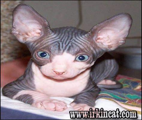 The War Against Sphynx Kittens For Adoption Irkincatcom