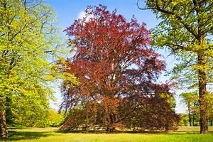 Bäume Schneiden Wann : rotbuche schneiden wann wie und wie viel ~ Lizthompson.info Haus und Dekorationen