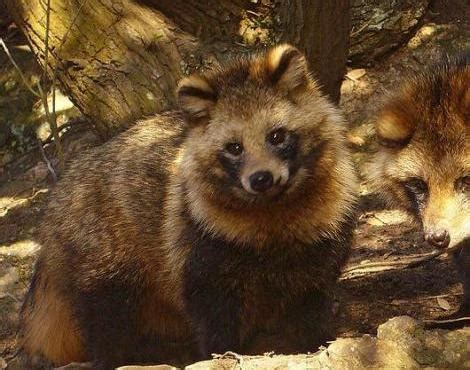picture    raccoon dog nyctereutes procyonoides