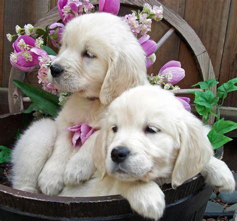 English Golden Retriever Puppies Pet Photography Puppy