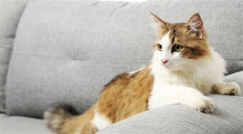 odeur de pipi de chat sur canape les 25 meilleures id 233 es concernant odeurs d urine sur produit pour enlever l urine
