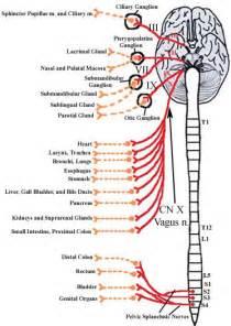 Abdominal Nerve Innervation