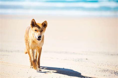 fraser island dingoes  love  strut queensland blog