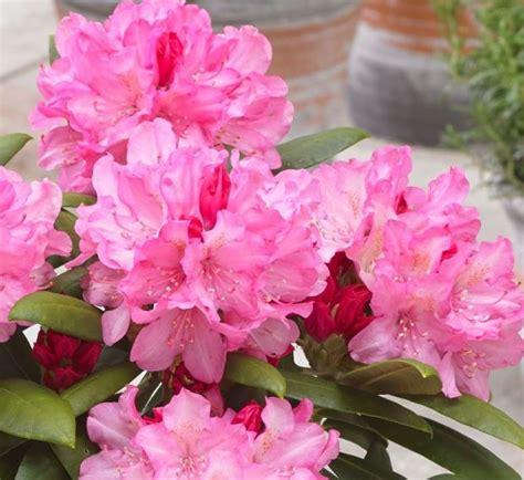 Rhododendron 'Polaris' - Mūžzaļais rododendrs