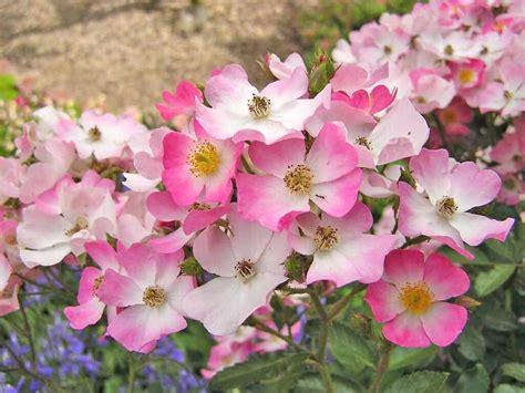 flower encyclopedia flower screen savers the flower expert flowers encyclopedia