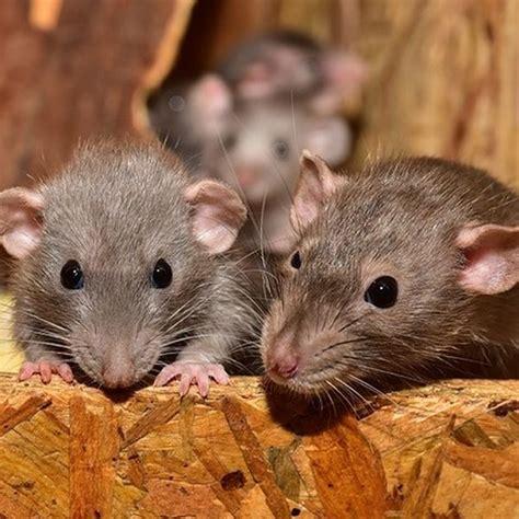 Ratten Bekaempfen Und Aus Dem Haus Vertreiben by Ratten Auf Dem Dachboden Bek 228 Mpfen Ger 228 Usche Als Indiz