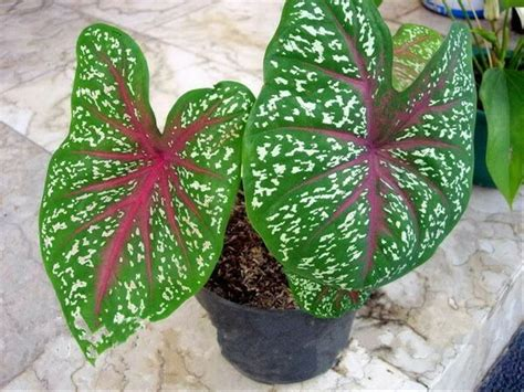 jual keladi red star tanaman hias caladium redstar
