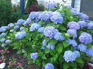 Hydrangea Macrophylla Winterhart : hydrangea macrophylla trees and shrubs ~ Michelbontemps.com Haus und Dekorationen