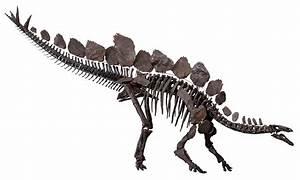 Stegosaurus - Wikipedia
