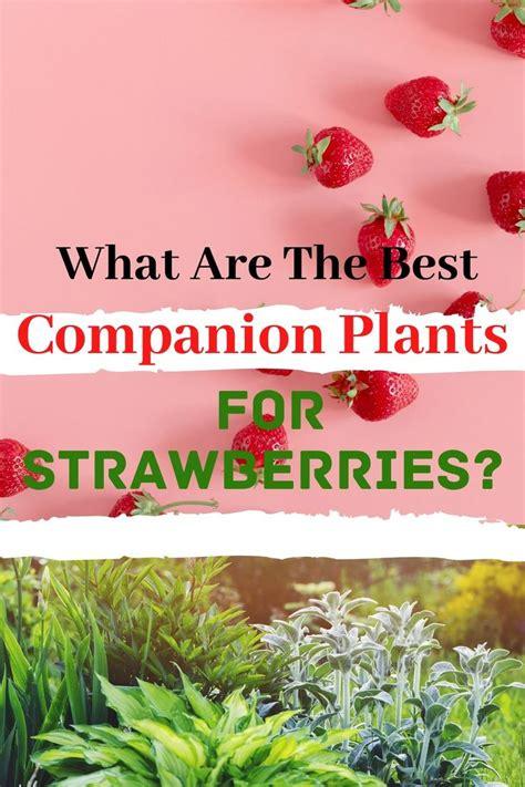 companion plants  strawberries    images