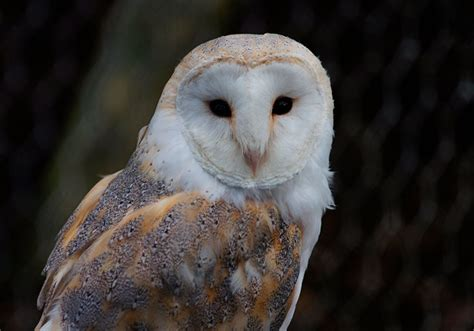 What Do Barn Owls Eat by 28 Frequently Asked Questions About Barn Owls Avian Report