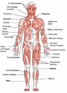 Muscular System  U2039 Opencurriculum