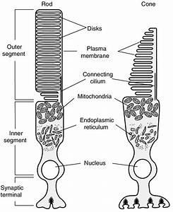 Schematic Diagram Of Vertebrate Rod And Cone