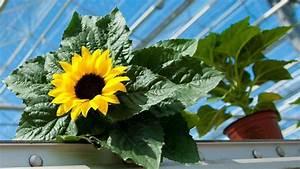 Sonnenblume Im Topf : sunsation topf sonnenblumen im rampenlicht ~ Orissabook.com Haus und Dekorationen