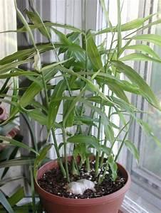 Pflanzen Zu Hause : immer frischen ingwer zu hause haben gy gyn v nyek pinterest garten pflanzen und ~ Markanthonyermac.com Haus und Dekorationen