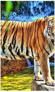 [49+] HD Tiger Wallpaper on WallpaperSafari