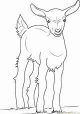 Kambing Cabras Mewarnai Diwarnai Goats Belajarmewarnai Belum Coloringpages101 Animaisparacolorir sketch template