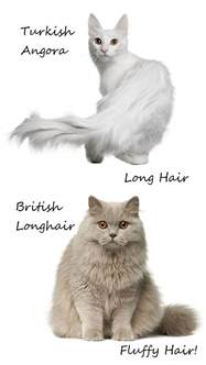 fluffy cat breeds fluffy cat breeds cat breeds encyclopedia