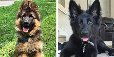 28 Of The Most Adorable German Shepherd Pups You'll Ever See