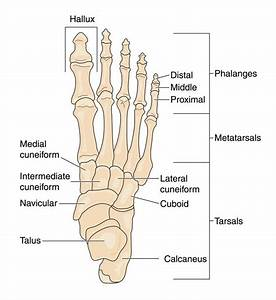 Anatomy Of The Foot And Ankle By Podiatrist