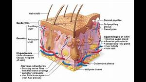 Chapter 5 1 Structure Of Skin Bio201