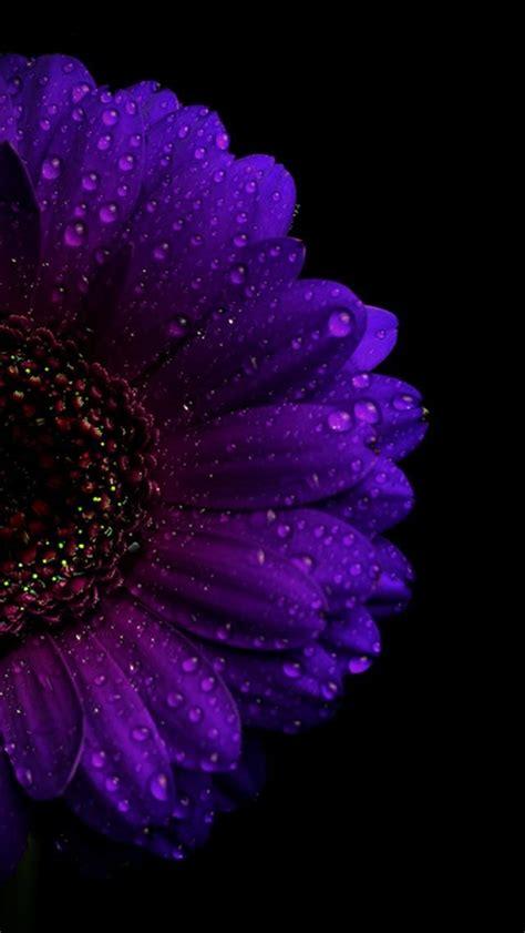 purple gerbera purple flowers wallpaper flower