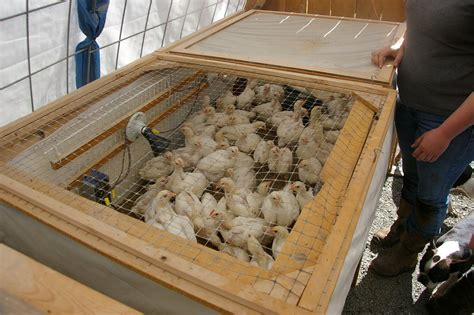 chicken brooders for sale chicken coop ideas