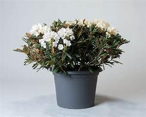 Kleinwüchsige Immergrüne Hecke : rhododendron edelwei rhododendron yakushimanum edelwei ~ Lizthompson.info Haus und Dekorationen