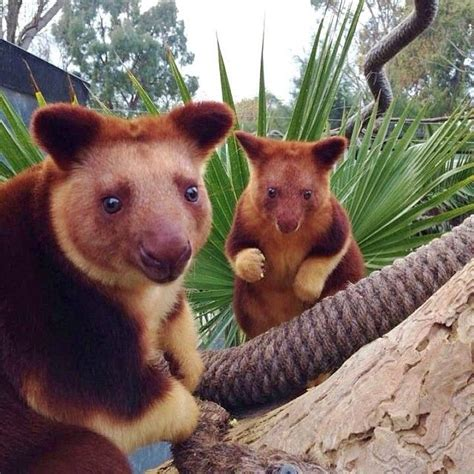 animals tree kangaroos australian australia kangaroo native exotic rare exist smiling impossible wild animal cute turns scroll without down zoo
