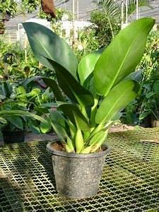 Plante Tropicale D Intérieur : philodendron martianum est une plante tropicale grandes feuilles facile cultiver comme ~ Melissatoandfro.com Idées de Décoration