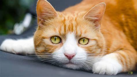 可爱橘猫图片高清桌面壁纸高清大图预览1920x1080动物壁纸下载美桌网