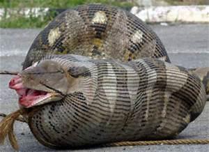 Animals world: Anaconda big snakes anaconda