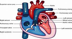 How Many Chambers Are Present In A Human Heart