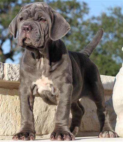 Mastiff Neapolitan Dog Neo Dogs Breeds Mastif
