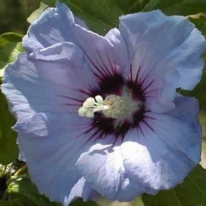 Taille De L Hibiscus : comment tailler les hibiscus syriacus althea ~ Melissatoandfro.com Idées de Décoration